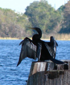CormorantResized